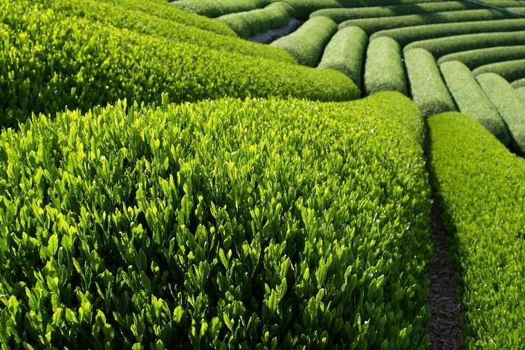 آشنایی با فواید و خواص چای سبز